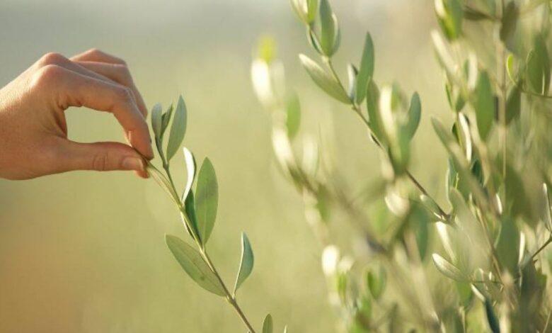 l'infuso di foglie di ulivo