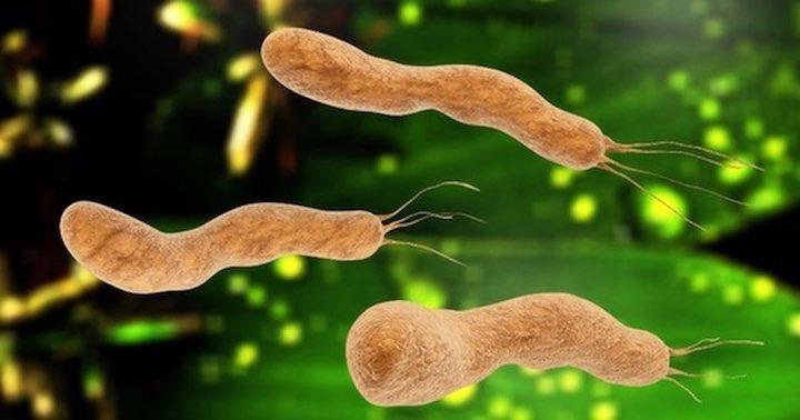 Rimedi naturali per Helicobacter pylori