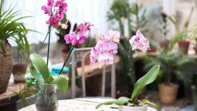 Photo of I benefici dell'orchidea, purifica l'aria, calma i nervi e contrasta lo stress