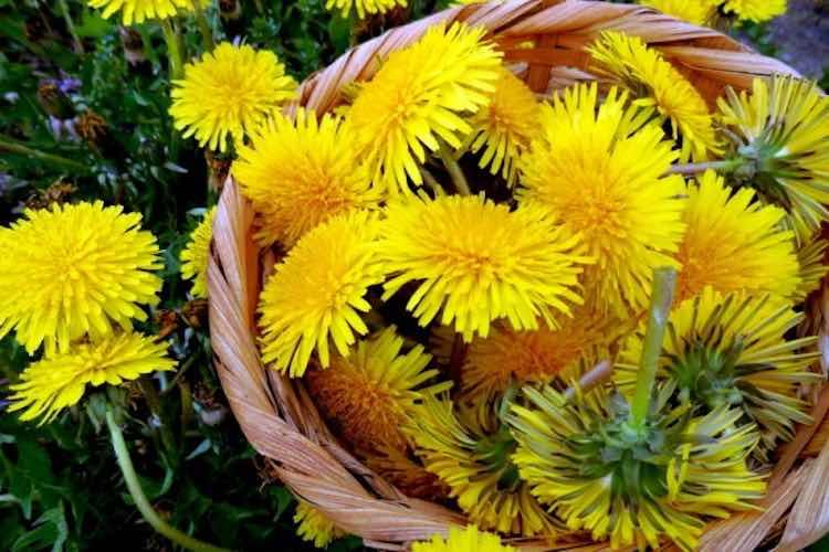 10 preziosi usi dei fiori di tarassaco